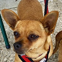Adopt A Pet :: Perla - Long Beach, CA