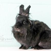 Lionhead Mix for adoption in Reisterstown, Maryland - Ripple