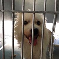 Adopt A Pet :: Ranger - Encino, CA