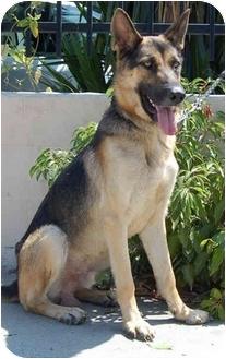 German Shepherd Dog Dog for adoption in Los Angeles, California - Arnie von Andermatt