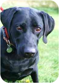 Labrador Retriever Mix Dog for adoption in Walker, Michigan - Boo