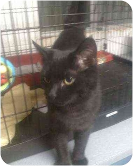 Domestic Shorthair Kitten for adoption in Moses Lake, Washington - Dillon