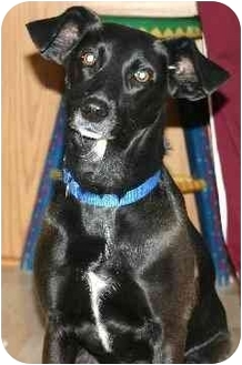 Labrador Retriever Mix Dog for adoption in Avon, New York - Cally