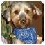 Photo 1 - Yorkie, Yorkshire Terrier Dog for adoption in stella, North Carolina - Monty