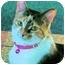 Photo 1 - Calico Cat for adoption in Clarksville, Indiana - Sasha