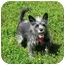 Photo 1 - Terrier (Unknown Type, Small) Mix Dog for adoption in Ile-Perrot, Quebec - Sophia