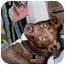Photo 3 - Labrador Retriever/Chesapeake Bay Retriever Mix Dog for adoption in Pasadena, California - Chestnut