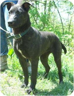 Dutch Shepherd Mix Dog for adoption in Louisville, Kentucky - Polo