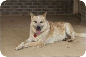 Australian Cattle Dog Mix Dog for adoption in Brattleboro, Vermont - Buppy
