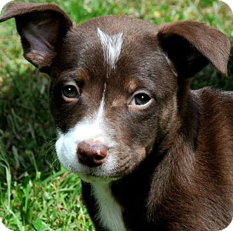 Labrador Retriever/Boxer Mix Puppy for adoption in Wakefield, Rhode Island - MEMSI(HAPPY-HAPPY PUPPY!!