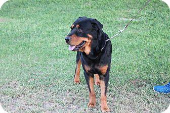 Rottweiler Dog for adoption in Gilbert, Arizona - Rowdy