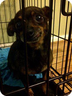 Chihuahua/Dachshund Mix Dog for adoption in Charleston, South Carolina - Cookie