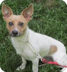 Chihuahua/Jack Russell Terrier Mix Dog for adoption in Bloomfield, Connecticut - Skippito