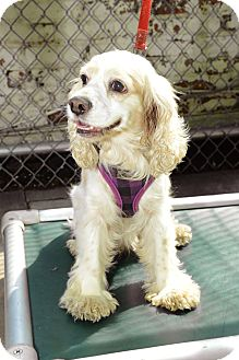 Cocker Spaniel Dog for adoption in New York, New York - Janice