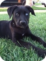 Labrador Retriever Mix Puppy for adoption in Torrance, California - LunaLuna