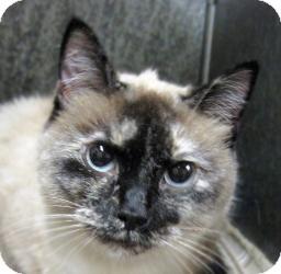 Siamese Cat for adoption in Sidney, Ohio - Layla