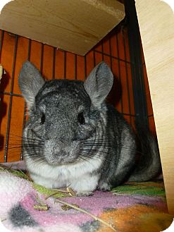 Chinchilla for adoption in Jacksonville, Florida - Chim Chim