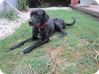 Labrador Retriever Mix Dog for adoption in Sunset Hills, Missouri - Kaya