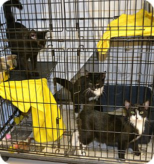 Domestic Shorthair Kitten for adoption in Mineral, Virginia - Pooh's Corner