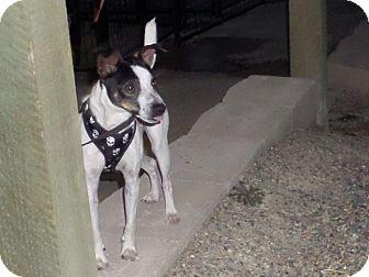 Rat Terrier Dog for adoption in Chewelah, Washington - Morty