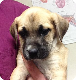 Boxer/Shepherd (Unknown Type) Mix Puppy for adoption in Portsmouth, New Hampshire - Buster-adoption in progress
