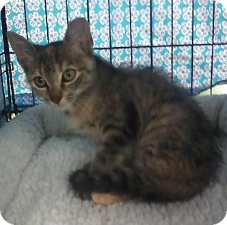 Domestic Shorthair Kitten for adoption in Satellite Beach, Florida - Taylor