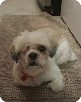 Shih Tzu/Lhasa Apso Mix Dog for adoption in Troy, Michigan - Joey