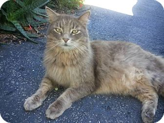 Maine Coon Cat for adoption in Port Richey, Florida - PAWS (Outdoor/Porch Cat)