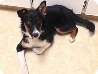 Australian Shepherd/Border Collie Mix Puppy for adoption in Regina, Saskatchewan - Caper - Adoption Pending!