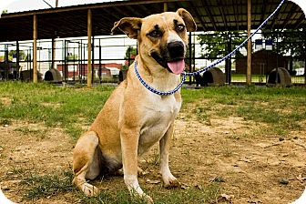 Boxer Mix Dog for adoption in Jasper, Alabama - 292N