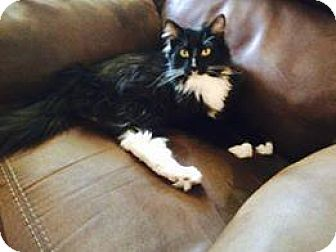 Domestic Mediumhair Cat for adoption in Des Moines, Iowa - Drayson