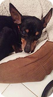 Miniature Pinscher Mix Dog for adoption in Brooksville, Florida - Julie