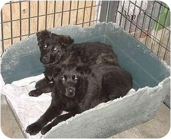 Australian Shepherd/Shepherd (Unknown Type) Mix Puppy for adoption in Austin, Minnesota - Ruby & Sawyer