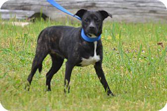 Boston Terrier Mix Dog for adoption in Lebanon, Missouri - Brandy