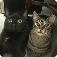 Adopt A Pet :: Loving LOUISE&SOPHOCLES - New York, NY