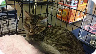 Maine Coon Kitten for adoption in Marietta, Georgia - Liam