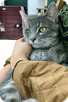 Domestic Shorthair Cat for adoption in Webster, Massachusetts - Chachi
