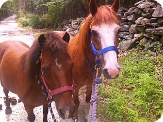 Pony - of America Mix for adoption in Goldens Bridge, New York - Cameron and CeeCee