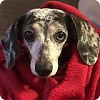 Adopt A Pet :: Lucy Lentil - Houston, TX