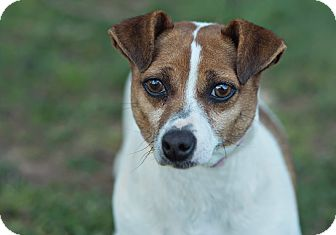 Jack Russell Terrier Dog for adoption in Walnut Cove, North Carolina - Hope