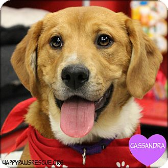 Labrador Retriever/Hound (Unknown Type) Mix Puppy for adoption in South Plainfield, New Jersey - Cassandra