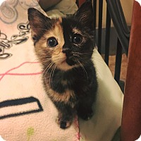 Adopt A Pet :: Serendipity - Chicago, IL