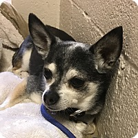Adopt A Pet :: Marcus - Chino Valley, AZ