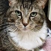 Domestic Shorthair Cat for adoption in Little Rock, Arkansas - ZANDRA