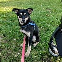 Adopt A Pet :: loki - Grand Ledge, MI