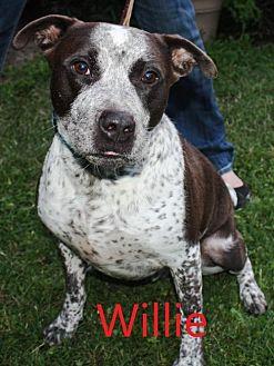 Pointer/Terrier (Unknown Type, Medium) Mix Dog for adoption in Gibbstown, New Jersey - Willie