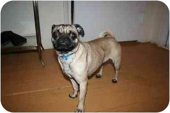 Pug Mix Dog for adoption in Long Beach, New York - Olivia