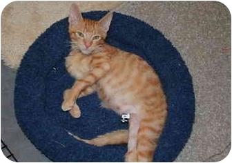 Domestic Shorthair Kitten for adoption in Putnam Hall, Florida - Leo