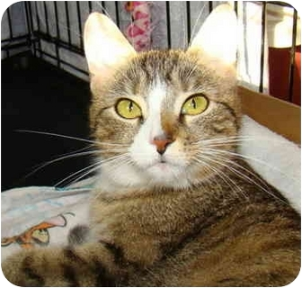 Domestic Shorthair Cat for adoption in Taylor Mill, Kentucky - Tasha