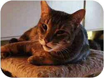 Domestic Shorthair Cat for adoption in Pasadena, California - Spicolli